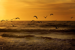 Sun Gull... (MexiPickle) Tags: ocean orange sun seagulls water clouds sunrise myrtlebeach wings waves gulls flock southcarolina atlantic rise flockr sunrisessunsets utatafeature impressedbeauty
