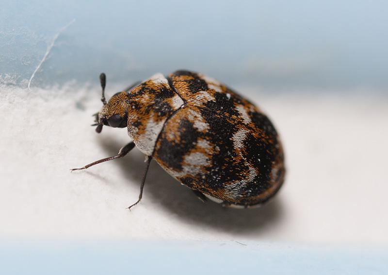 bathroom beetle -- Macro in photography-on-the.net forums