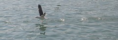 DERRAPANDO... (ABUELA PINOCHO ) Tags: sea españa mer port puerto mar spain mediterraneo gull aves espagne gaviota mouette castellon vuelo vuelos burriana abigfave a3b