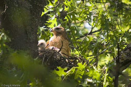 Red Shouldered Hawk 2006