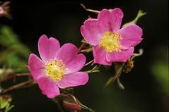 wild roses (Wolverlei/Martin Stevens) Tags: pink flower netherlands rose flora roos sell roze bloem verkoop ansichtkaart picturepostcard prentbriefkaart