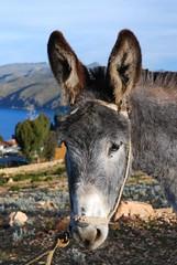 A mule in Bolivia