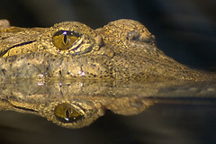 Freshwater Crocodile (Orchidelique) Tags: nature animal zoo aquarium reptile wildlife crocodile freshwater crocodylus freshwatercrocodile 2013 specanimal johnstoni