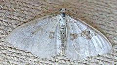 1727-DSCN1135 Silver-ground Carpet (Xanthorhoe montanata) (ajmatthehiddenhouse) Tags: geometridae larentiinae moth silvergroundcarpet xanthorhoe montanata xanthorhoemontanata uk kent stmargaretsatcliffe garden