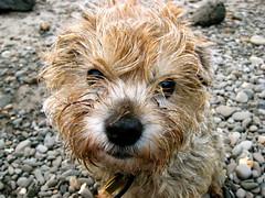 Hana at the Beach (creatura) Tags: dog beach border terrier hana borderterrier