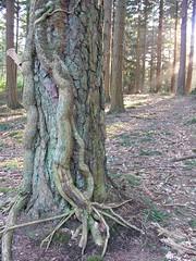 Tree at Bolderwood
