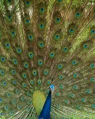 Peacock (K. Shreesh) Tags: india birds peacock kanpur iitk naturesfinest blueribbonwinner sonydsch1 supershot 10faves outstandingshots abigfave anawesomeshot impressedbeauty isawyoufirst irresistiblebeauty avianexcellence diamondclassphotographer flickrdiamond superhearts thechallengegame