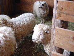 Sheepy 002