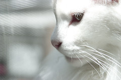Rocky in  Profile (darkhairedgirl) Tags: white cute face cat pretty elegant whitecat catprofile rockypantspieface superpuffy
