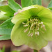 Helleborus ... from seed
