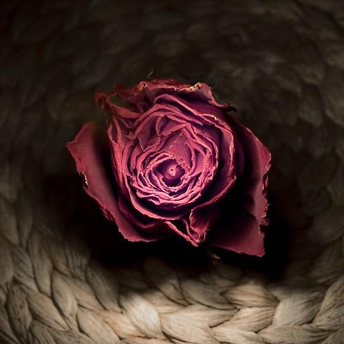 Long dead rose