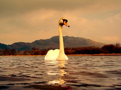 Alone (Nicolas Valentin) Tags: sky reflection bird water scotland swan scenery lochlomond animalkingdomelite abigfave anawesomeshot frhwofavs