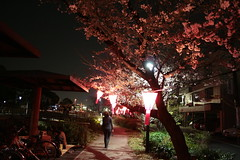 (sin!sin!) Tags: pink japan canon cherry blossom