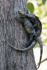 love bites (seanhoyer) Tags: 20d animals canon mexico wildlife pair jalisco biting iguana yelapa mating mate reproduction herps copulation animalsmating location:country=mexico