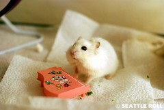 Piano Lesson *LiLi* (Seattle Roll) Tags: pet pets animal animals 50mm piano hamster rement campbell hamsters f18d d80