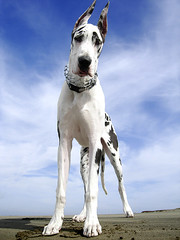Bodhi at the Beach (Nick  Carlson) Tags: pictures dog pet pets dogs photography photo bravo bigdogs photos pics carlson nick picture pic greatdane harlequin showdogs largebreed losangelesport nickcarlson truelifeimages harborarea nickcarlsonphotography