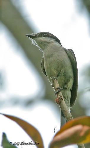 Messy flycatcher @ Kanangi, karkala