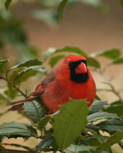 Cardinal - Window View