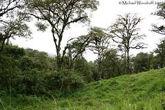 Cloudforest (Michael Woodruff) Tags: bird birds ecuador birding cloudforest choco suptropics nwecuador oldnonomindord nonomindo nonomindord