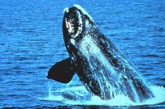 Anglų lietuvių žodynas. Žodis right whale reiškia teisė banginio lietuviškai.