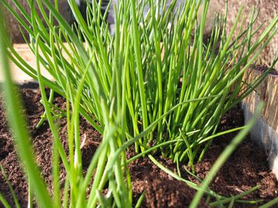 gräslök påsk