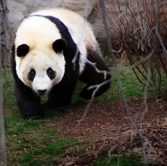 Here Comes the Panda (` Toshio ') Tags: bear trees zoo washingtondc washington spring panda bamboo tai nationalzoo shan orton taishan toshio