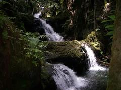 Hawaii - Mar-Apr 2007 068 (Nancy Jean1) Tags: fern hawaii waterfall bigisland botanicalgardens marapr2007 primevalforestgroups pfwaterfall