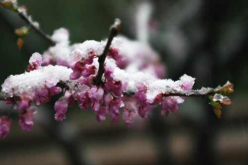 Frosted Blossoms