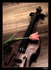 Violin and tulip (baby7) Tags: music flower nature beautiful flora musical violin tulip instrument musicalinstrument botany soe flickrsbest artlibre colorphotoaward superbmasterpiece frhwofavs