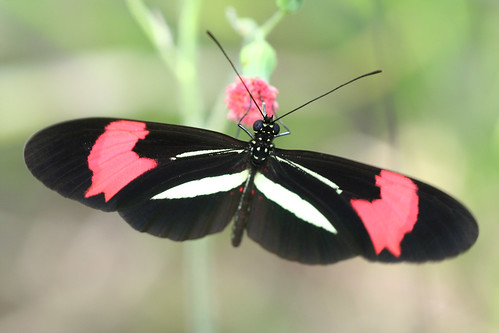 Butterfly Heliconius Erato Butterfly