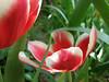 the energy of tulipa