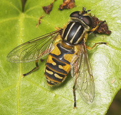 """Hoverfly (Helophilus pendulus) • <a style=""""font-size:0.8em;"""" href=""""http://www.flickr.com/photos/57024565@N00/474443121/"""" target=""""_blank"""">View on Flickr</a>"""