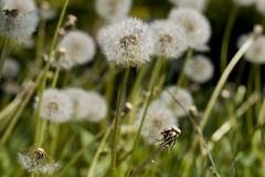 Blowball (crosathorian) Tags: blumen lwenzahn blowball pusteblumen