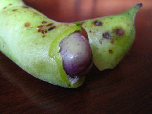 purple fava bean