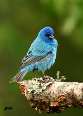 Powder Puff Indigo (tanager55) Tags: blue sunlight green bird bokeh feathers indigo bark lichen limb indigobunting naturesfinest superaplus aplusphoto superhearts