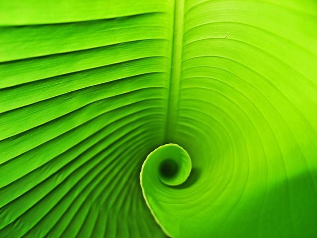 Banana Leaf Spiral I