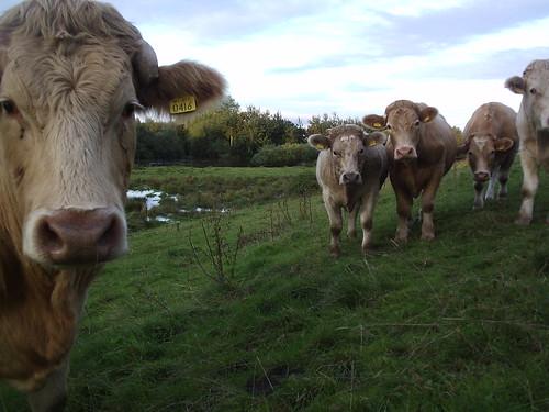 speechless cows