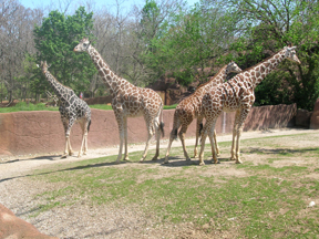 Why do giraffes always pose like this?