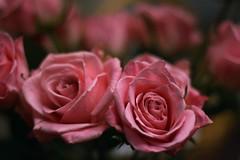 Birthday Roses 6