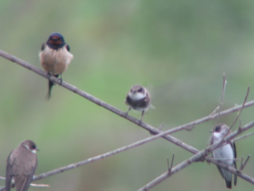 sand martins and swallow