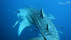Whale Shark at Koh Tao Island, Thailand (_takau99) Tags: ocean trip travel sea vacation holiday fish uw nature topf25 water topv111 topv2222 thailand lumix shark topv555 topv333 marine asia southeastasia underwater wildlife topv1111 topv999 topv444 dive scuba diving topv222 panasonic explore thai samui tropical april scubadiving topv777 whaleshark tao topv666 topf10 topf15 kohtao topf35 kotao 2007 topv888 gulfofthailand chumporn topf5 topf20 topf30 topf40 fx30 explore500  takau99 explore200 top20fish explore100 chumpornpinnacle lumixfx30