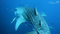 Whale Shark at Koh Tao Island, Thailand (_takau99) Tags: ocean trip travel sea vacation holiday fish uw nature topf25 water topv111 topv2222 thailand lumix shark topv555 topv333 marine asia southeastasia underwater wildlife topv1111 topv999 topv444 dive scuba diving topv222 panasonic explore thai samui tropical april scubadiving topv777 whaleshark tao topv666 topf10 topf15 kohtao topf35 kotao 2007 topv888 gulfofthailand chumporn topf5 topf20 topf30 topf40 fx30 explore500 タオ島 takau99 explore200 top20fish explore100 chumpornpinnacle lumixfx30