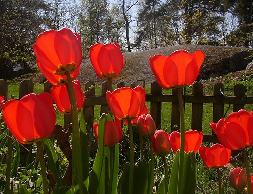 Red tulips Wrangels 30 april