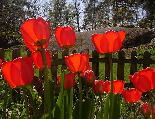 Red tulips Wrangels 30 april