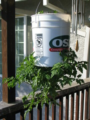 upside-down tomato plant III (thomas pix) Tags: garden tomato upsidedown parsley