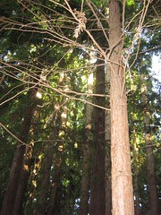 "redwoods • <a style=""font-size:0.8em;"" href=""http://www.flickr.com/photos/70272381@N00/485680749/"" target=""_blank"">View on Flickr</a>"