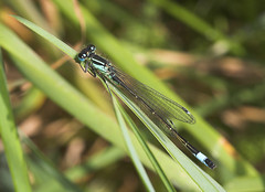 "Blue Tailed Damselfly (ischnura elega(6) • <a style=""font-size:0.8em;"" href=""http://www.flickr.com/photos/57024565@N00/486949434/"" target=""_blank"">View on Flickr</a>"