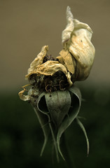 Shrivelled faith (Armando Maynez) Tags: flower macro green mxico garden dark dead mexico delete5 death dawn delete2 interestingness nikon df bravo dof 26 decay flor delete3 save7 save8 delete delete4 save save2 diamond explore save9 save4 save5 save10 shallow lowcolor save6 dying armando savedbythedeltemeuncensoredgroup decadence epa shrivel shrivelled d40 flickrsbest challengeyouwinner mywinner superbmasterpiece diamondclassphotographer flickrdiamond excellentphotographerawards myfacebook savethree maynez