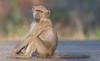 The chacma baboon (Papio ursinus). (annick vanderschelden) Tags: africa southafrica southernafrica wilderness nature trees nationalpark adventure safari animal birds visitor species naturalworld livingorganism biodiversity wildlifereserve nationalwildlifereserve explore vegetation tourist eco naturereserve conservationarea habitat animalwildlife wildernessarea beautyinnature backtonature naturalist picturesque lowveld tranquility animalsandplants chacmababoon papioursinus capebaboon monkey omnivorous