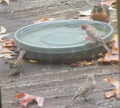 blogDSCN7969 (CarverS2) Tags: birds finch american robin
